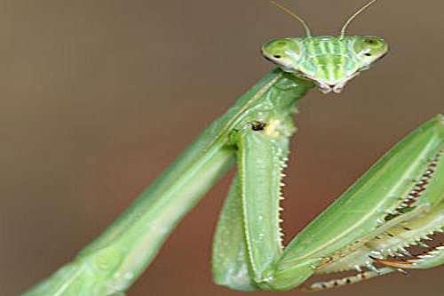 Live Pet Chinese Praying Mantis Dudeiwantthat Com