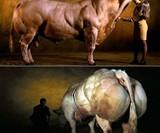 Double Muscled Belgian Blue Bull
