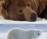 Grizzly & Polar Bears
