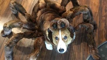 Tarantula Dog Halloween Costumes