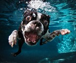 Underwater Dogs - Subsurface Fetching Photos