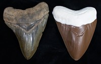 Chocolate Megalodon Shark Teeth