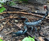 Edible Asian Forest Scorpion
