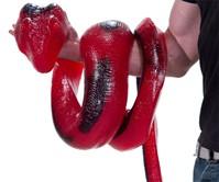 26-Pound Gummy Python