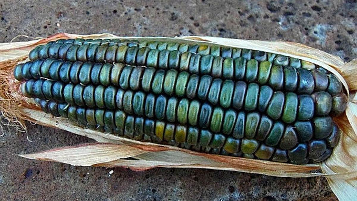 Oaxacan Green Dent Corn