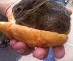 Fresh Whole Rabbit