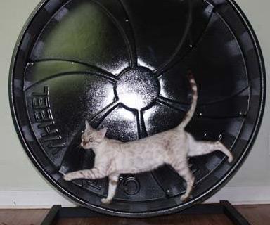 Cat Running Wheel Gif