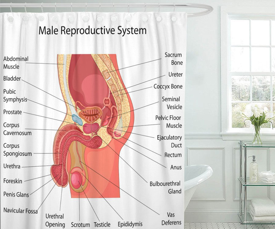 Male Reproductive System Shower Curtain | DudeIWantThat.com
