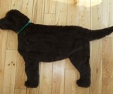 Labrador Rug