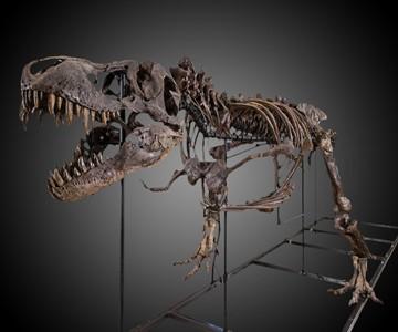 Real Partial T-Rex Skeleton