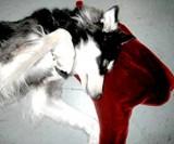 Dog on Blood Pool Pillow