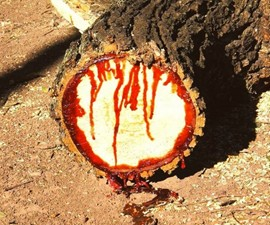 Dragon's Blood Medicinal Tree Sap