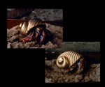 Gold and Platinum Hermit Crab Shells
