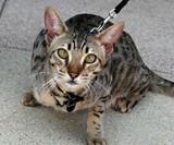 $20,000 Hypoallergenic Designer House Cat