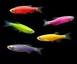 GloFish Fluorescent Fish