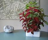 Click & Grow SmartPot Plants - Painted Nettle