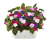 Click & Grow SmartPot Plants - Busy Lizzy