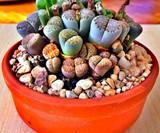 Lithops - Living Stone Succulent Plants