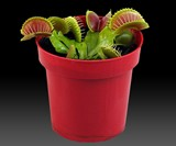 Venus Fly Trap Potted Plant