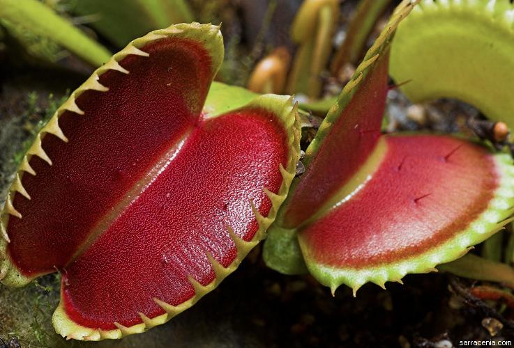 Venus Flytrap Potted Plant | DudeIWantThat.com