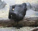 Gorilla Shit