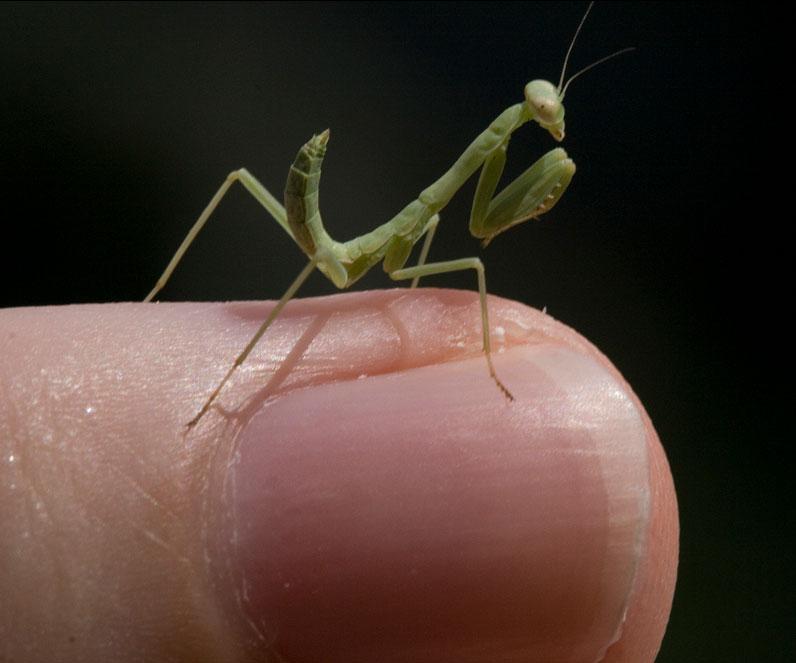 Praying Mantis Eggs Dudeiwantthat Com