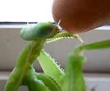 Live Chinese Praying Mantis