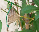 Praying Mantis Egg Hatching