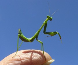 Live Pet Chinese Praying Mantis