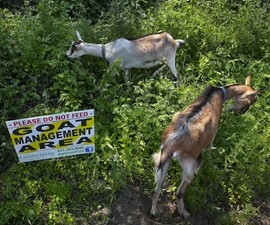 Rent-A-Goat - Invasive Plant Remediation