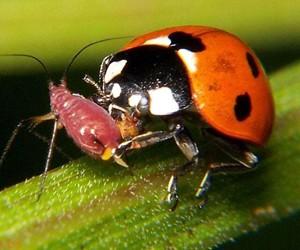 1,500 Live Ladybugs