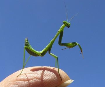 Live Chinese Praying Mantis